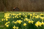 These daffodils are for Erin.  Spring will come soon.  Photo from wikimedia commons